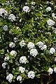 Viburnum × burkwoodii Burkwood viburnum at RHS Garden Hyde Hall, Essex, England.jpg