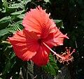 Vietnamese Hibiscus (Hoa râm bụt).JPG