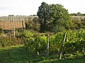 Vines and Hops Garden at Sandhurst Vineyard, Kent - geograph.org.uk - 989768.jpg