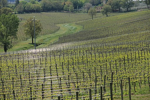 Vineyards in Umbria