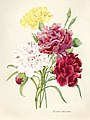 Vintage Flower illustration by Pierre-Joseph Redouté, digitally enhanced by rawpixel 45.jpg