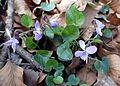 Viola reichenbachiana kz3.JPG
