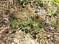 Viola riviniana sl12.jpg