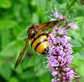 Volucella inanis. - Flickr - gailhampshire (2).jpg