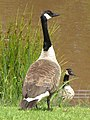 Watchful Canada goose - geograph.org.uk - 882572.jpg