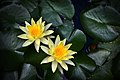 Water Lily Photographed by Trisorn Triboon.jpg