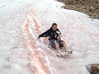 Watermelon snow - Tracks made by sliding on watermelon snow in Utah's Uinta Mountains