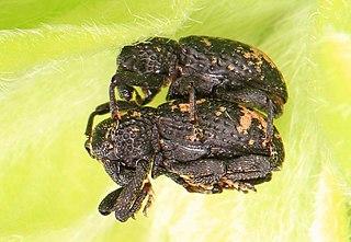 <i>Tyloderma</i> Genus of beetles