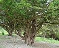 Weird tree Danebury Hill Fort - panoramio.jpg
