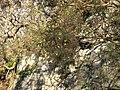 Welsh Slate and Gorse - geograph.org.uk - 344034.jpg