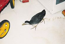 White-breasted-Waterhen045.jpg