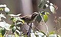 White-browed Babbler (Pomatostomus superciliosus) (31032179240).jpg