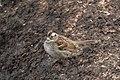 White-throated Sparrow (1st winter) Onion Saddle Portal AZ 2018-01-09 12-53-29 (39574675002).jpg