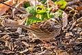 White-throated Sparrow -98 100- (38466948564).jpg