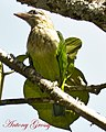 White Cheeked Barbet or Small Green Barbet (7101972729).jpg