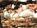 White Ibis - Flickr - treegrow (1).jpg