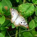 White Peacock. Anarta j. jatrophae. - Flickr - gailhampshire.jpg