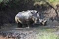 White Rhinoceros (2875288160).jpg