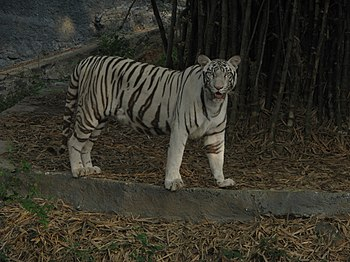White Tiger Cooling Off in a Summer Evening. 12.jpg