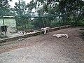 White Tiger from Bannerghatta National Park 8514.JPG