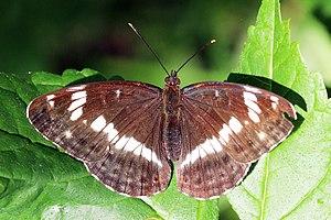Limenitis camilla - Image: White admiral (Limenitis camilla)
