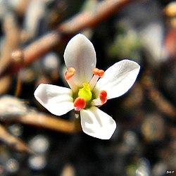 White screwstem (Bartonia verna) (6603422259).jpg