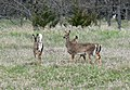 White tailed deer at Chalco Hills.jpg