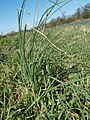 Wild Onion - geograph.org.uk - 744939.jpg
