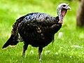Wild Turkey.jpg