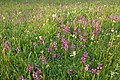 Wild orchids and cowslips in a field near Levent Lodge, Earl's Croome - geograph.org.uk - 120907.jpg