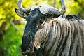 Wildebeest 3.jpg