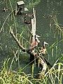 Wildlife ^ Wetlands Centre, Barnes, W. London. - panoramio.jpg