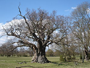 Wood pasture - Veteran pollard oak, a sign of ancient wood pasture at Windsor.