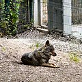 Wolf at Blackpool Zoo (geograph 4023749).jpg