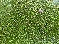 Wolffia columbiana sl3.jpg