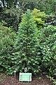 Wollemia nobilis full.jpg