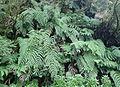 Woodwardia radicans kz1.JPG