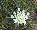 Wortel bloem closup Daucus carota 'Amsterdamse bak'.jpg