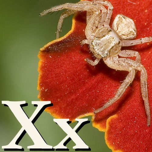 X is for Xysticus.jpg