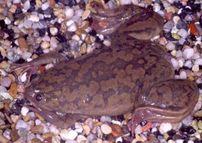 Description de l'image Xenopus laevis.jpg.