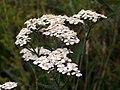 Yarrow (Achillea millefolium) side (4850710359).jpg