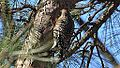 Yellow-bellied Sapsucker (8403055362).jpg