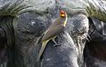 Yellow-billed oxpecker, Buphagus africanus, on Cape buffalo in Chobe National Park, Botswana. (31993308030).jpg
