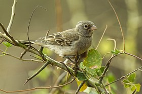 Yellow-spotted Petronia - Kenya - Africa.jpg