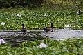 Yellow Billed Ducks (7514573284).jpg