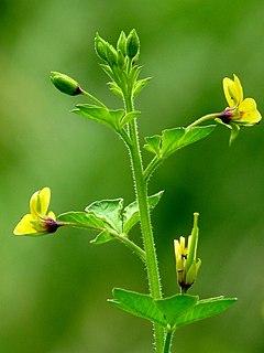 <i>Cleome viscosa</i> species of plant