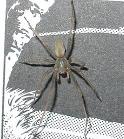 Yellow sac spider.JPG