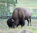 Yellowstone N.P., Bison Near Cabin 9-2011 (6911251143).jpg