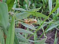 Young Japanese tree frog on the grass.jpg