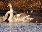 File:Young swan has no space on a frozen lake 102331195.jpg
